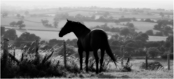 Roble Stud Stallion Maryss Nogal looking at view